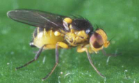 Vegetable leafminer (Liriomyza spp)